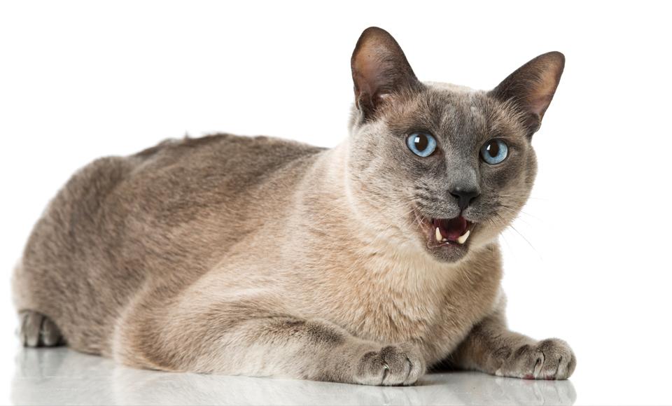 Katze Jault