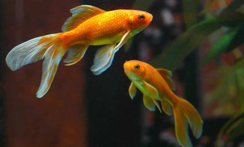 Goldfisch qualipet blog for Koi und goldfische zusammen
