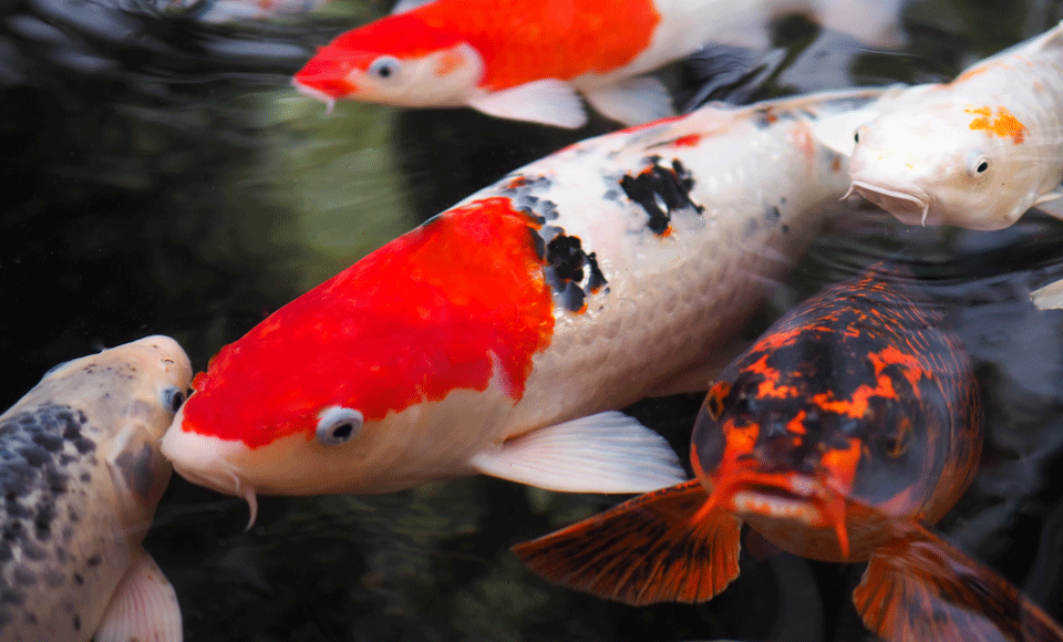 Nishikigoi koi qualipet blog for Nishikigoi koi
