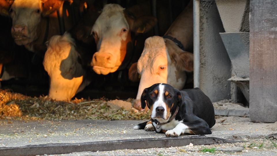 Herdenschutzhund-beim-wandern
