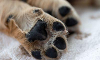Wolfskrallen beim Hund - Funktionslose Anhängsel oder Risikofaktor?