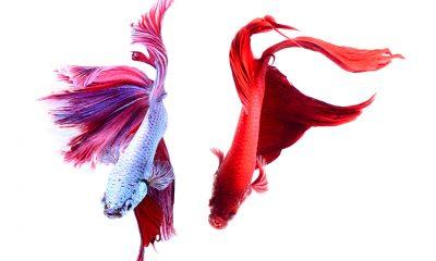 Der Kampffisch