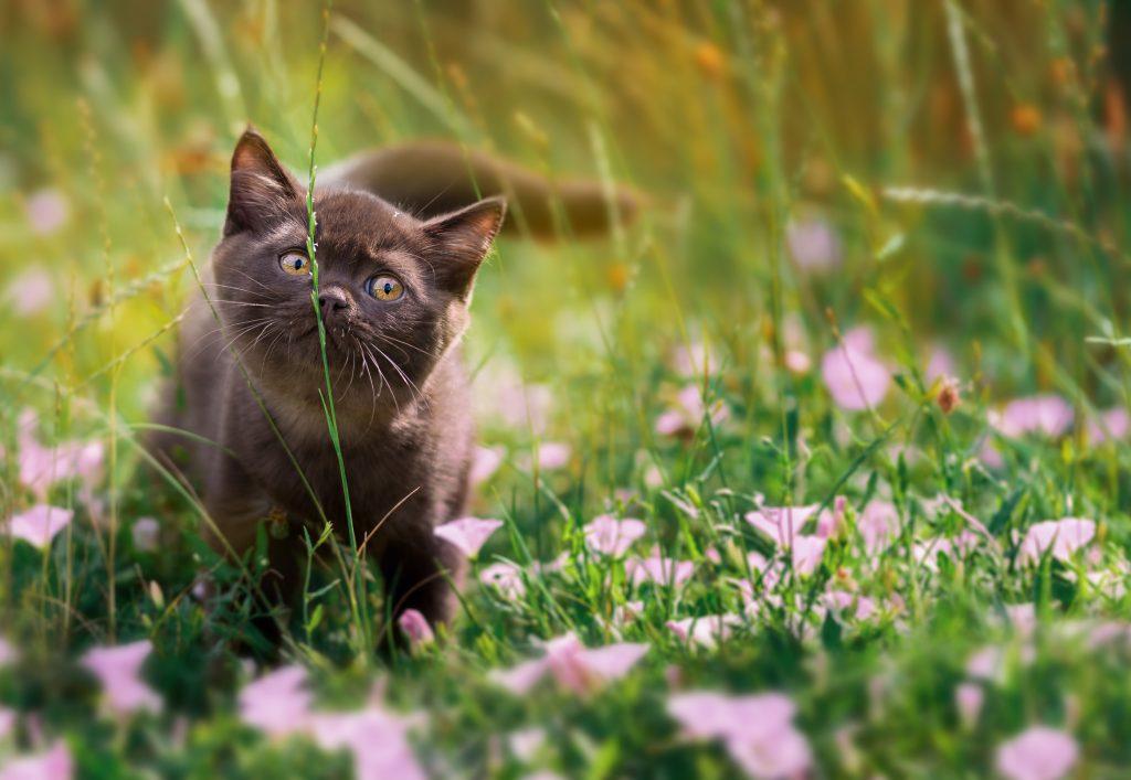 Grashalm Katze Katzengras